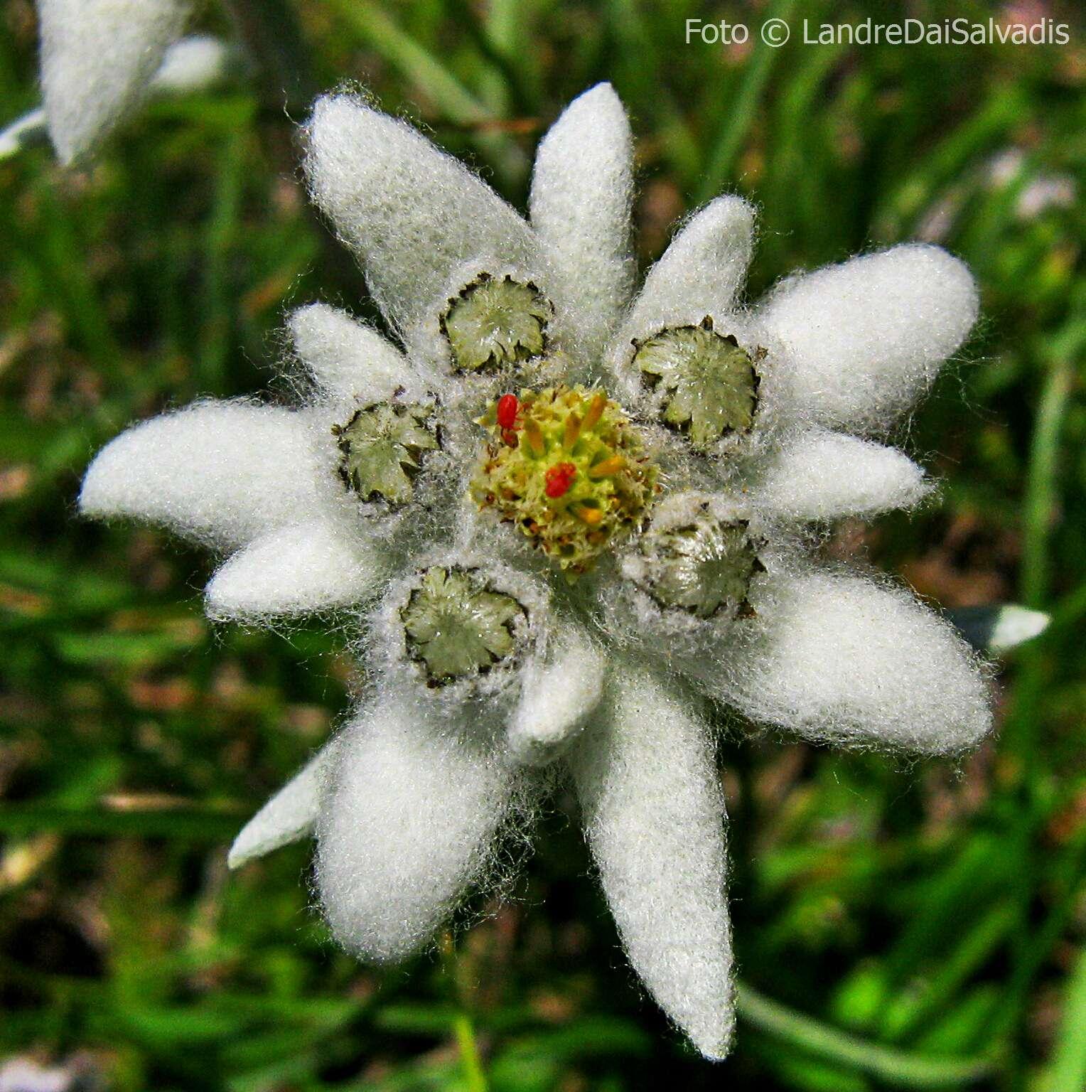 stella alpina 11